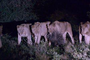 Clip: Chú nhím lì lợm, 1 mình 'cân' 7 con sư tử