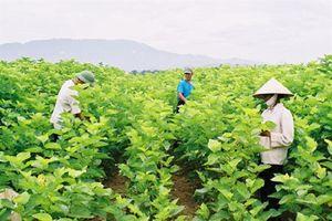 Nghề trồng dâu nuôi tằm hồi phục