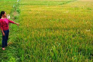 Bệnh đốm nâu, tiêm lửa 'ăn' hơn 2.000 ha lúa xuân ở Hà Tĩnh