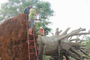 TT-Huế: Chủ sở hữu cây khủng bị phạt hành chính 750.000 đồng
