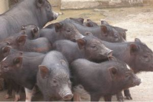 Khám phá giống lợn biết tự nuôi con ở Tây Nguyên