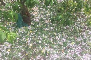 Sơn La: Mưa đá gây thiệt hại hơn 20 ngôi nhà, gần 1.000 ha cây trồng