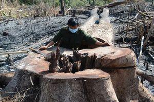 Vụ chặt phá rừng ở Đăk Nông: Khởi tố thêm đối tượng về hành vi 'Nhận hối lộ'