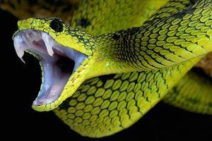 Ăn thịt rắn bị báo thù có thực không?