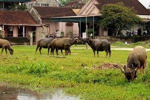Thanh Hóa: Yêu cầu xử lý nghiêm vụ trâu, bò ăn cỏ trên đồng phải đóng phí