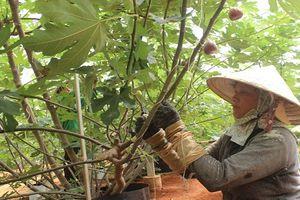 Thăm trang trại sung Mỹ thu gần trăm triệu/ngày ở Đồng Nai