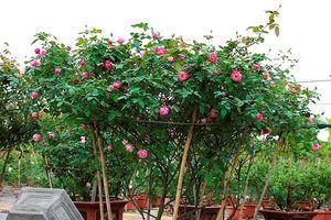Ngắm vườn hoa hồng bạc tỷ độc nhất vô nhị của cô gái 9X Hà Nội