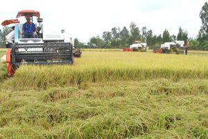 Phân lân nung chảy Ninh Bình giúp trồng lúa tăng lợi nhuận