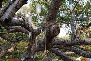 'Truyền dịch' cứu cây