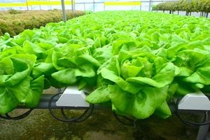 Mỏi mắt ngắm nông trại rau không cần đất thu tiền tỷ