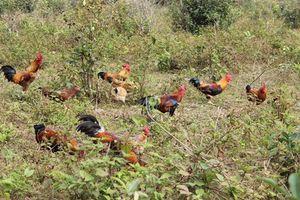 Những trại gà chín cựa kiếm tiền khủng ở Việt Nam