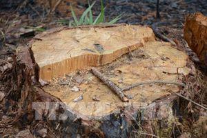 Khởi tố cán bộ kiểm lâm trong vụ phá rừng thông cộng đồng ở Tuy Đức