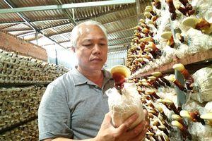 Việt kiều Mỹ về quê trồng nấm theo quy trình đặc biệt