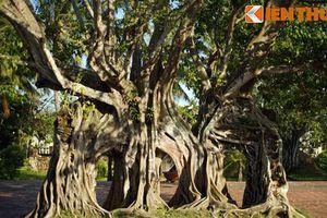 Ngắm cây bồ đề cổ thụ hình thù độc lạ bậc nhất Việt Nam