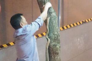 Bắt được rắn hổ mang dài hơn 1m tại chung cư Rice City Tây Nam Linh Đàm
