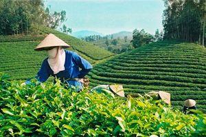 Những nghịch lý của ngành chè Việt Nam