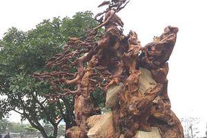 Ngắm gốc gỗ trai đỏ nghìn năm tuổi trị giá hơn nửa tỷ đồng