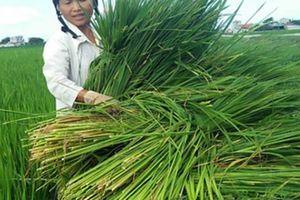 Nông dân Thanh Hóa đau đầu với cây 'lúa nhưng không phải lúa'