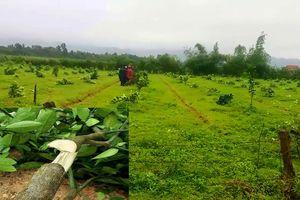 Khởi tố vụ gần 200 cây bưởi Phúc Trạch bị chặt hạ trong đêm
