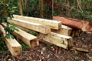 Lại phát hiện một vụ phá rừng nghiêm trọng tại Gia Lai