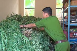 Tịch thu 130 kg cần sa do con rể trồng ở nhà… cha vợ