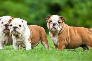 Trên thế giới, có những loài chó cực quý