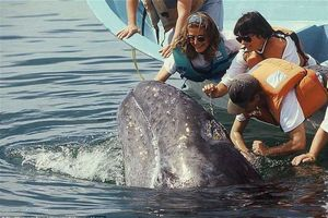 Cá voi khổng lồ bơi sát thuyền, du khách thoải mái vuốt ve