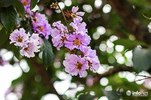 Ngập tràn sắc hoa bằng lăng gọi hè về trên phố phường Hà Nội