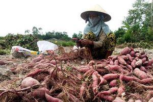 Hiệu quả mô hình trồng khoai lang Nhật tại Quảng Ngãi