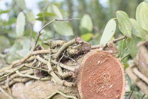 Thương lái Trung Quốc đổ xô thu mua rễ hồ tiêu