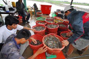 Tôm Việt lại đối mặt với cảnh báo kháng sinh cấm