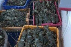 Khánh Hòa: 60.000 con tôm hùm chết đột ngột, thiệt hại 9 tỷ đồng