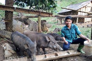 Nông dân Sơn La làm giàu thành công từ nuôi lợn rừng thả rông