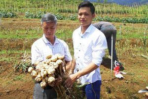 Đồng bào Mông Nghệ An trồng tỏi trắng đủ tiêu chuẩn xuất sang Nhật
