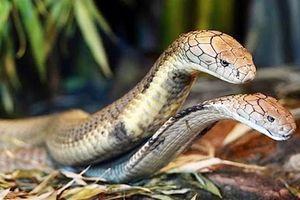 Sự thật cặp 'rắn thần' ngày đêm canh giữ cây thị ngàn tuổi?