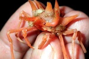 Phát hiện nhiều sinh vật biển kỳ dị ở vùng biển sâu Indonesia