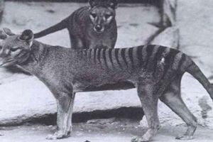 'Cải tử hoàn sinh' hổ Tasmania có thành công?