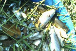 Nông dân khóc ròng vì bị kẻ xấu dùng thuốc sâu, thuốc diệt cỏ đầu độc cá và lúa