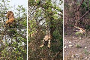 'Cười đau bụng' trước cảnh hổ bị ngã 'chổng vó' khi trèo cây săn khỉ
