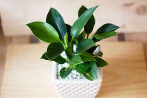 6 loại cây mang may mắn tài lộc khi bày văn phòng