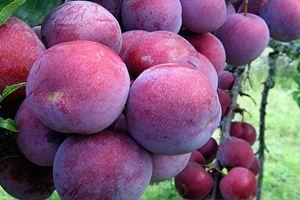 'Đột nhập' vườn mận bạc tỷ đỏ ối ở Hà Giang