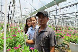 Trồng hoa dạ yến thảo, lãi 1 triệu đồng/ngày