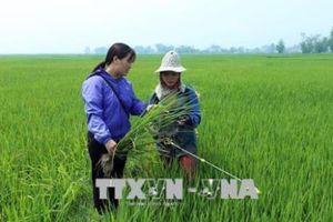 An Giang sớm hướng dẫn nông dân biện pháp quản lý dịch bệnh trên lúa