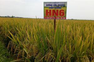 Lúa thuần HN6 được nông dân đón nhận