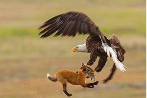 'Chúa tể bầu trời' vuột mất con mồi trước cáo đỏ tinh ranh