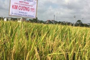 Chịu sâu bệnh, tăng năng suất, 2 giống lúa này 'được lòng' nông dân