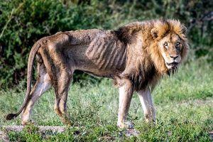 Sư tử đực gầy trơ xương nằm chờ chết