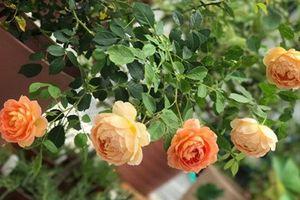 Mãn nhãn những vườn hoa đẹp như mơ của mẹ Việt ở Nhật