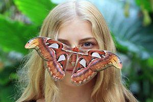 Chân dung bướm khổng lồ, to ngang mặt người, có ở VN