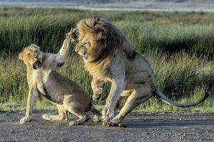 Ảnh động vật tuần: Sư tử cái tát bạn tình, cá heo đánh nhau...